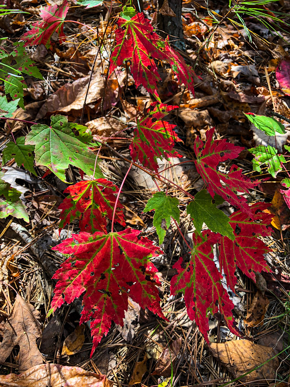 Bright red fall leaves.