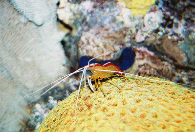 Cleaning Shrimp 2