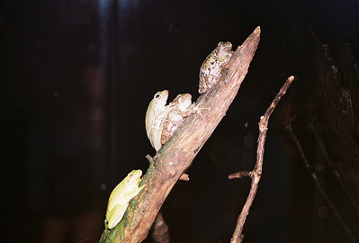 Frogs on a Stick