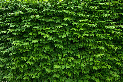 7235 Hedge