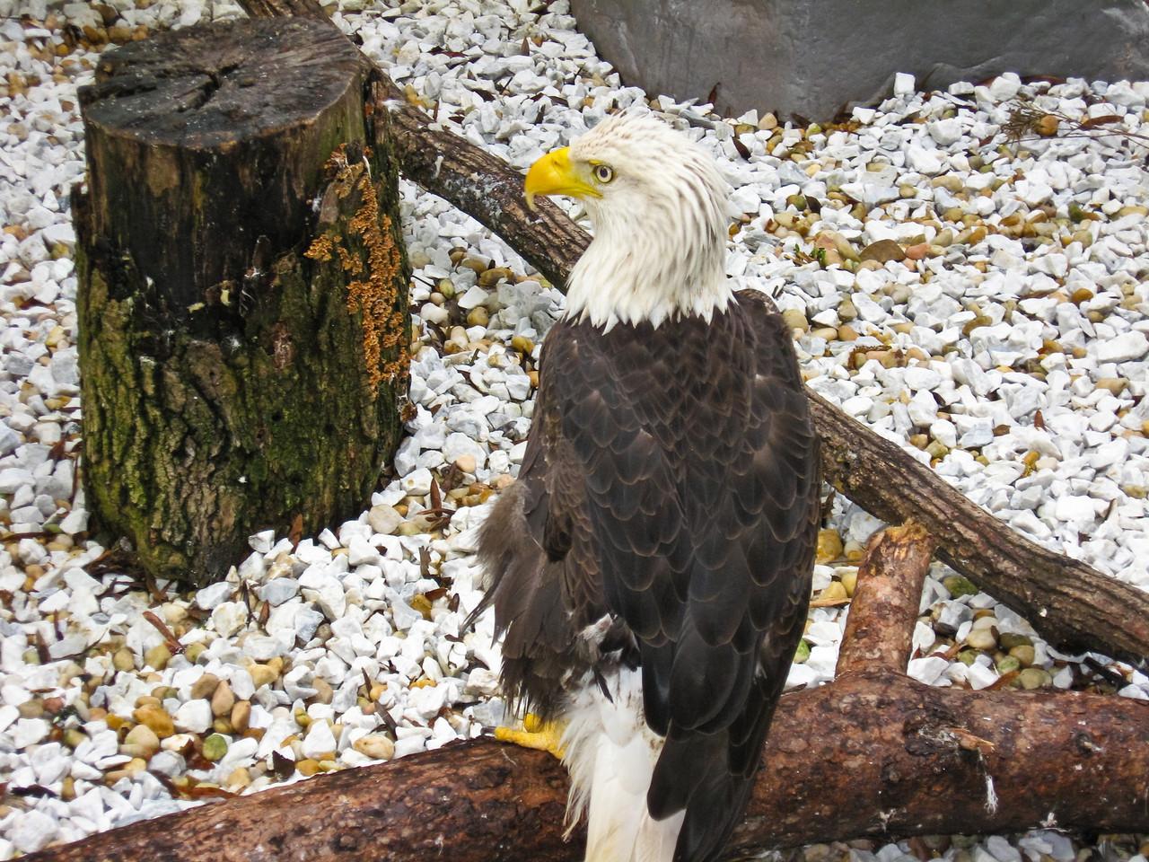 1797 Bald Eagle