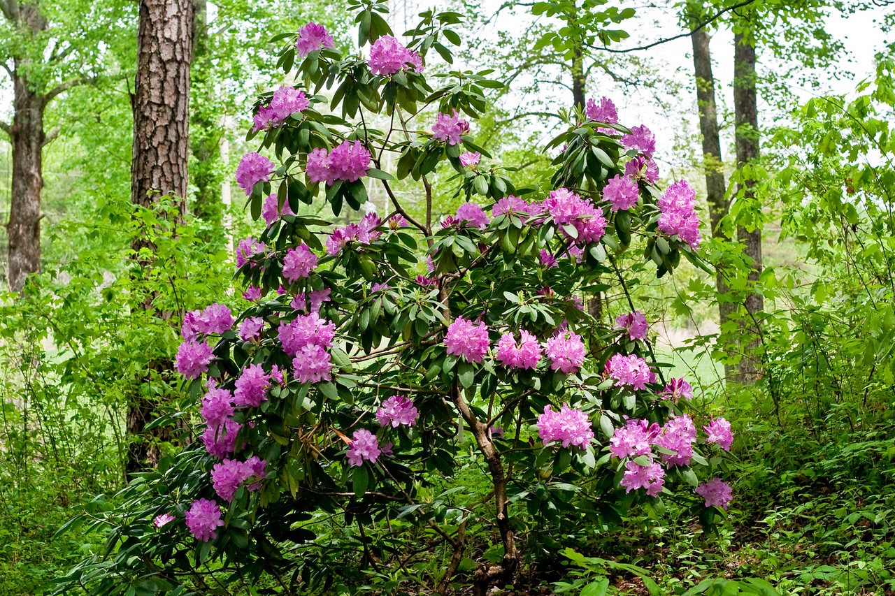 7074 Rhododendron