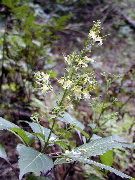 Northern Horsebalm or Rich Weed<br /> Collinsonia canadensis<br /> Lamiaceae <br /> Piney Falls, TN 9/13/08