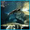 Otter swims at the TN Aquarium
