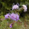 Blazing Star<br /> Liatris squarrulosa<br /> Asteraceae<br /> 9-13-08 Piney Falls, TN