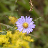 Fall is the season of Asters!