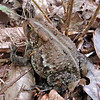 A trailside toad!<br /> Piney River Trail, TN 9/13/08