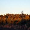 Evening's Golden Glow on the Pines<br /> Centennial Wilderness, TN