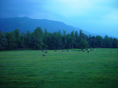 Very early morning image of horses grazing in an open pasture of the Cades Cove area of the Great Smoky Mountains National Park.