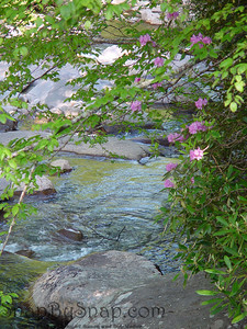A mountain stream framed by rhododendrons in the Great Smoky Mountains National Park.