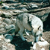 Beautiful Wolf - Bay Mountain Park, Kingsport, TN  4-8-04