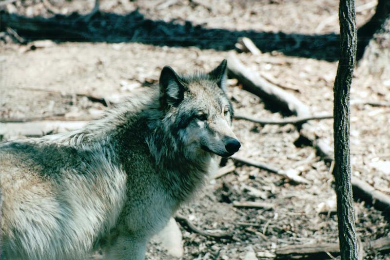 Wolf - Bay Mountain Park, Kingsport, TN  4-8-04