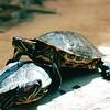 Red-eared Sliders Turtles - Bay Mountain Park, Kingsport, TN  4-8-04