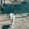 Wolf Refuge - Bay Mountain Park, Kingsport, TN  4-8-04