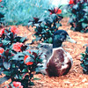 duck Resting in the Gardens - Pigeon Forge, TN  6-5-94