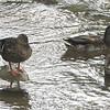 Mallards - Steele Creek Park Tree Trail - Bristol, TN_2