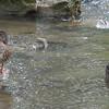 Mallards - Steele Creek Park Tree Trail - Bristol, TN