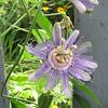 Passion Flower - Steele Creek Park Nature Center - Bristol, TN