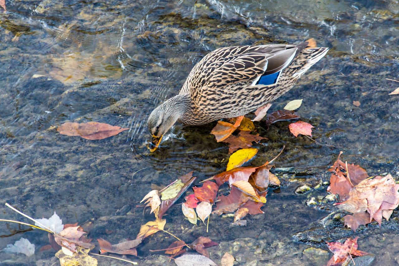 Mallard Duck in Little Pigeon River, Tennessee - October 2014