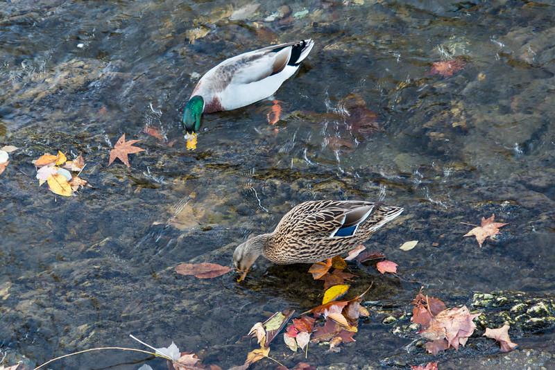 Mallard Ducks in Little Pigeon River, Tennessee - October 2014