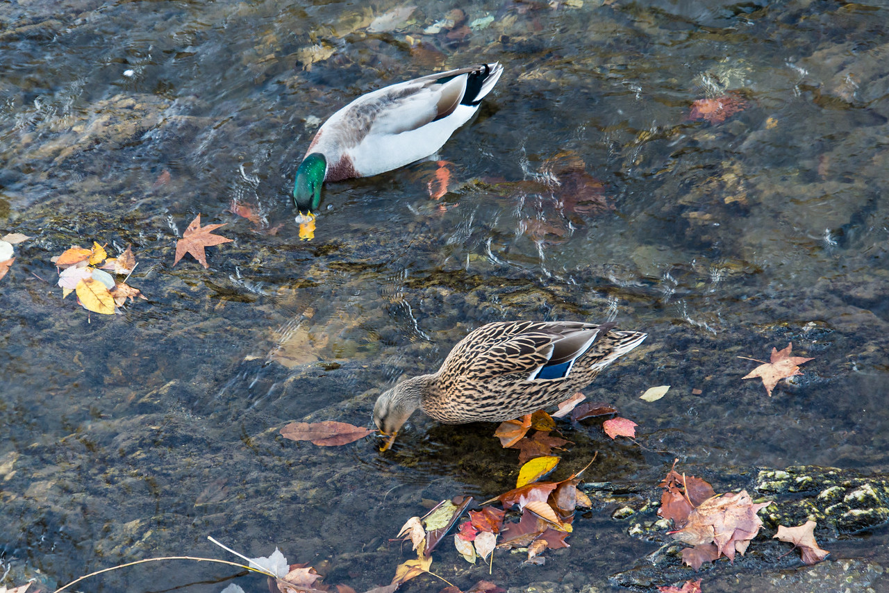 Mallard Ducks in Little Pigeon River, Tennessee - October 2014