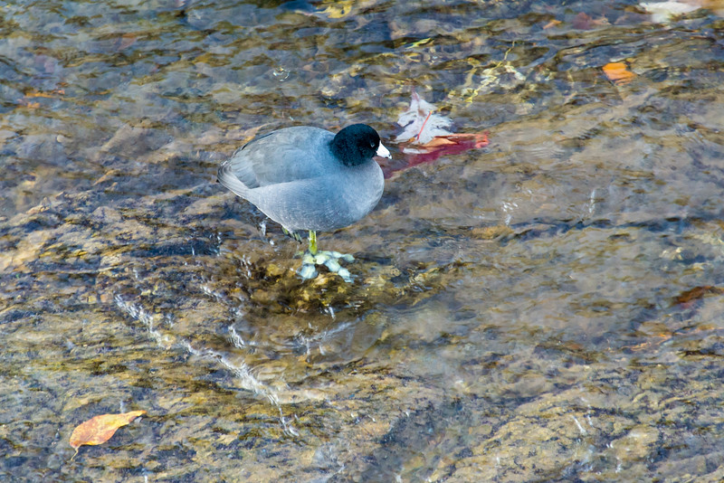 Unknown bird in Little Pigeon River, Tennessee - October 2014