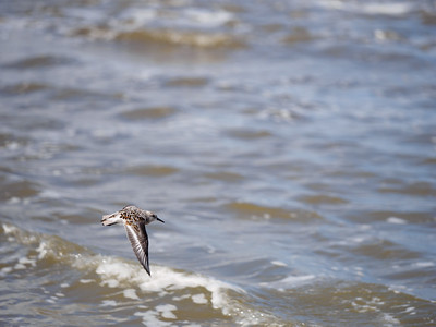 Flying Sanderling