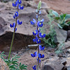 The desert version of Blue Bonnets. Flowers will grow anywhere.