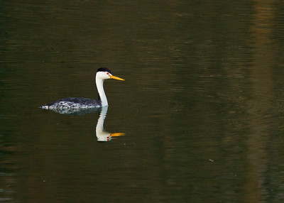 Red-eyed western Grebe