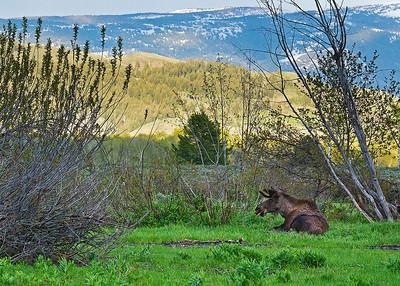 Moose at Teton