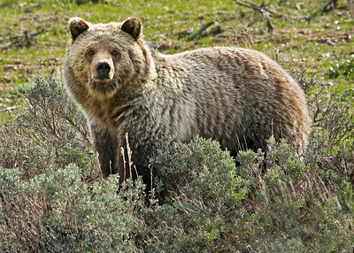Grizzly look