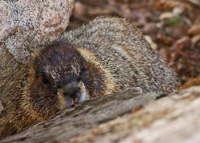 Yellow-bellied Marmot feeding