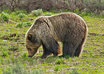 Grizzly bear est 3-5 years of age