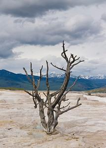 Dead tree in springs