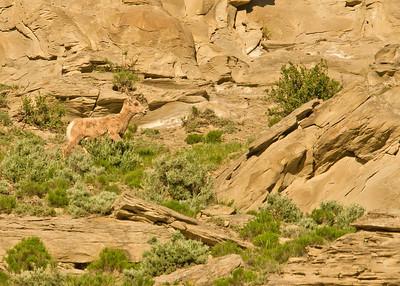 Bighorn sheep, female