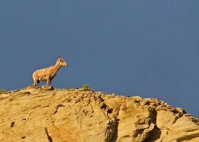 Bighorn female sheep