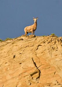 Feamle Bighorn sheep