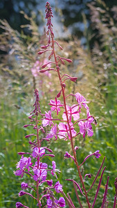 Fireweed - Close Up