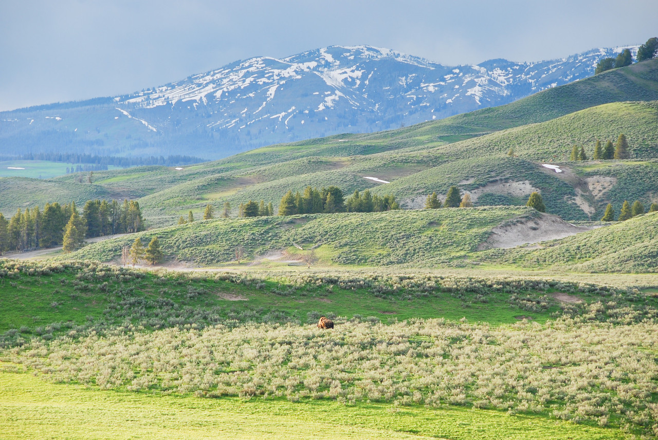 Lone bison in the valley