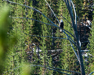 Yellowstone -bald eagle