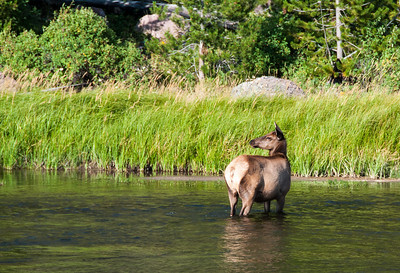Yellowstone - Elk female