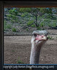 Ostrich Looking in Bus Window