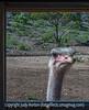 Ostrich Looking in Bus Window
