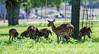 Axis Deer, Johnson Creek RV Resort
