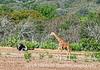 Ostrich and Giraffe