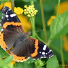 Kerrville - Red Admiral, 05/29/2004.