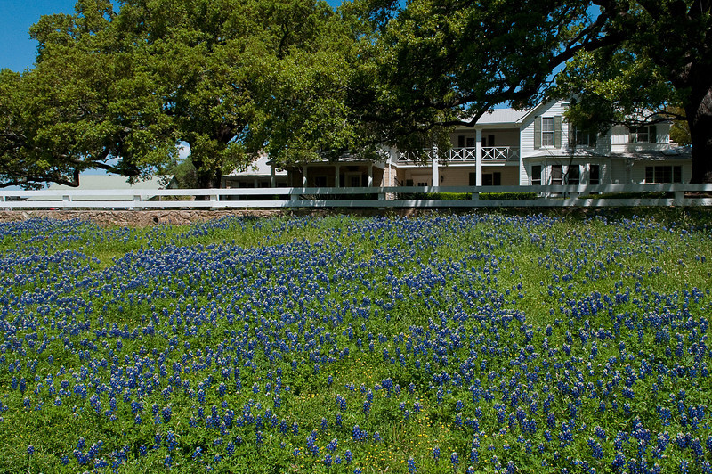 The Texas Bluebonnets on the Pedernales River side of LBJ's Texas White House