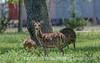 Axis Deer, Kerrville, TX