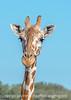 Giraffe at YO Ranch