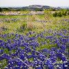 Enchanted Bluebonnets